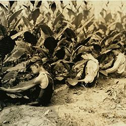 Three boys picking shade-grown tobacco (Library of Congress, 1917)